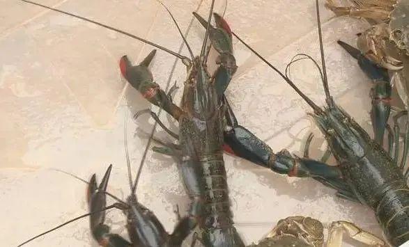 澳洲龙虾落户楚雄市吕合镇